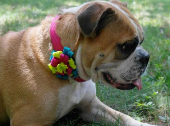 Coleira para cachorro decorada com flor de feltro