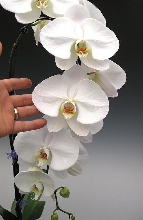 Fotos de Orquídeas Maravilhosas
