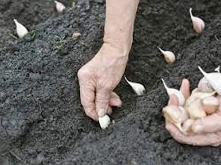 Do que ele é possível de retirar vermes em curia