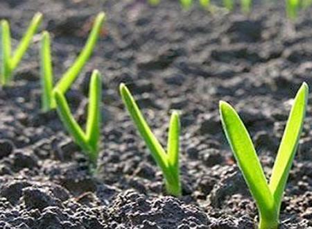 Como plantar alho passo a passo