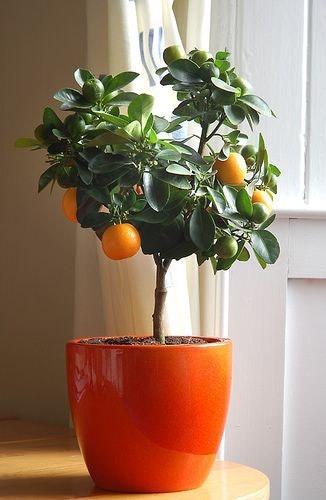 jardinagem laranja lima em vaso