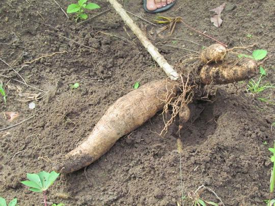 Como plantar macaxeira passo a passo