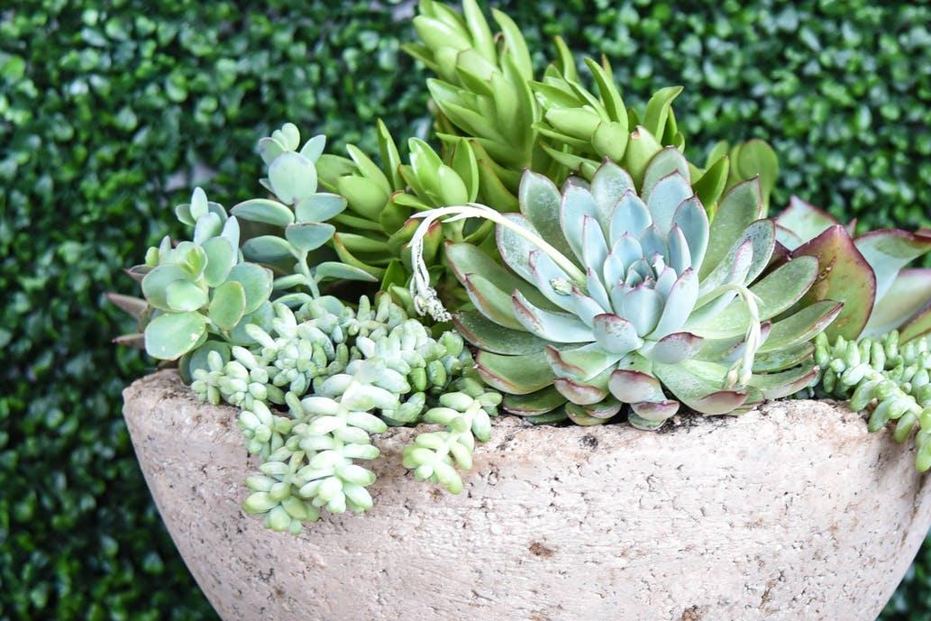 suculenta e, vaso de cimento, bela dica de jardinagem