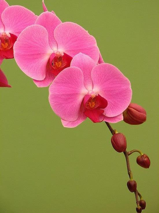 Orquídeas Phalaenopsis - Orquídea da Secretária