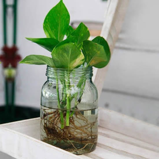 Como fazer enraizador natural para plantas