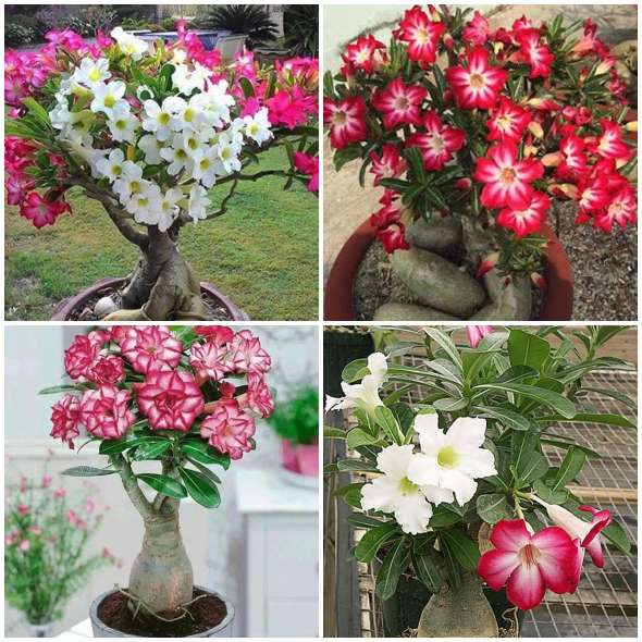 Flor Rosa do Deserto no Jardim