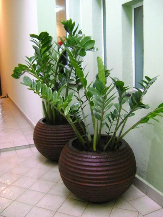 Plantas Zamioculcas para Decorar a Casa