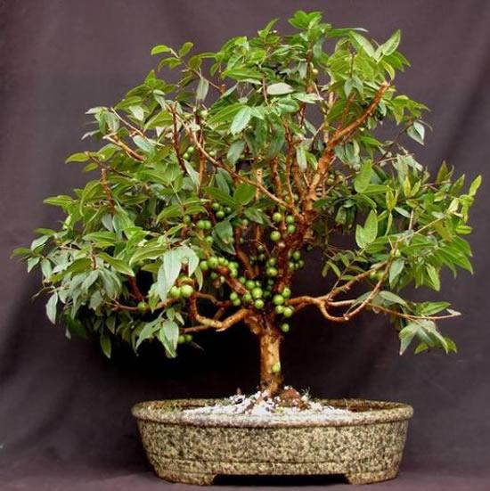 13 Exemplos para Bonsai de Frutíferas