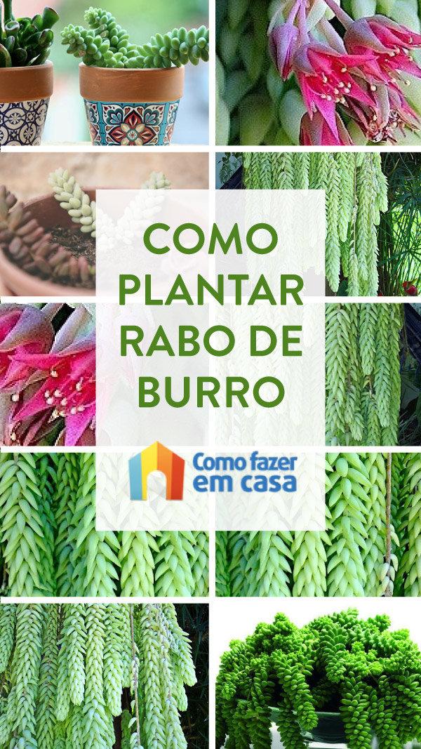 COMO PLANTAR RABO DE BURRO SUCULENTA (10)
