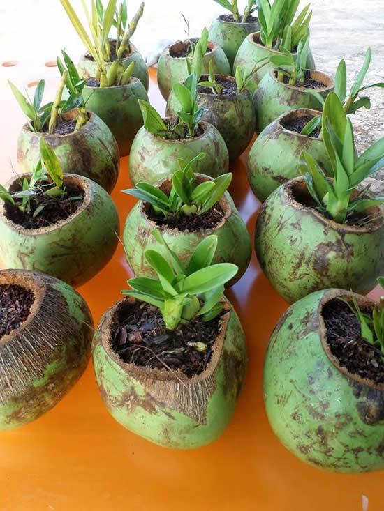 Como plantar orquídeas em cocos