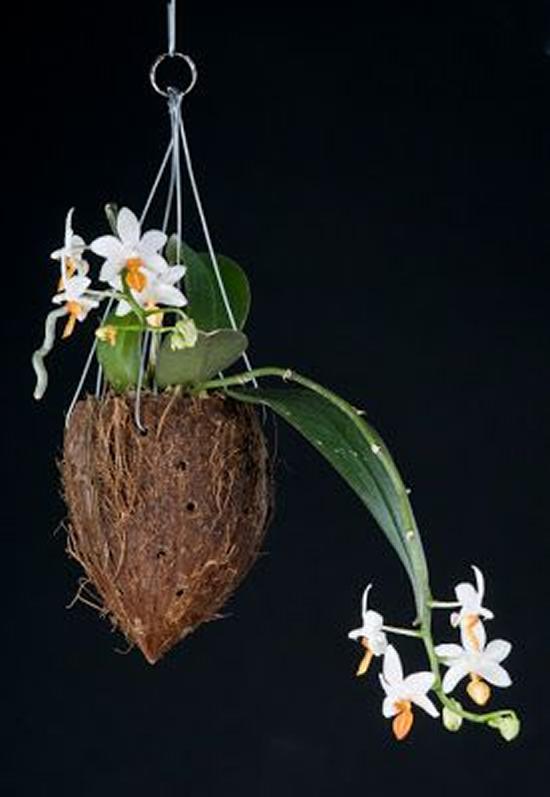 Lindas Orquídeas em Cocos - Como plantar