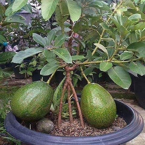 mini abacateiro