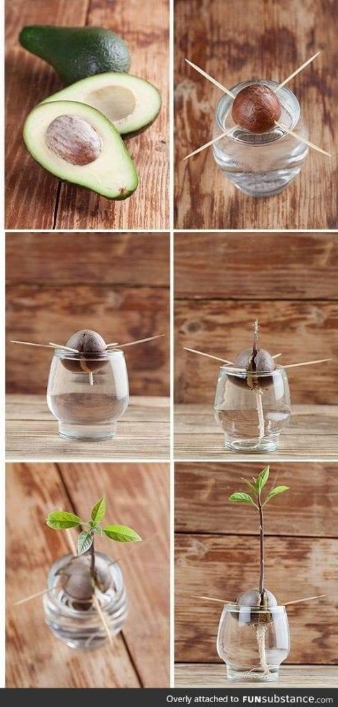 germinando semente do abacate