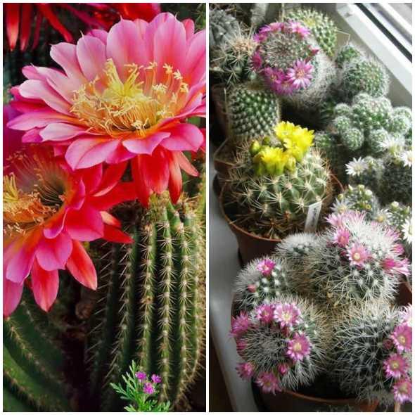 Como fazer seu cacto florir
