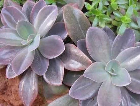 Echeveria metallica