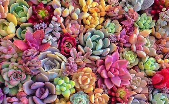 Como fazer para deixar as suculentas coloridas