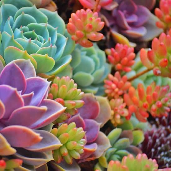 Como deixar suas suculentas coloridas